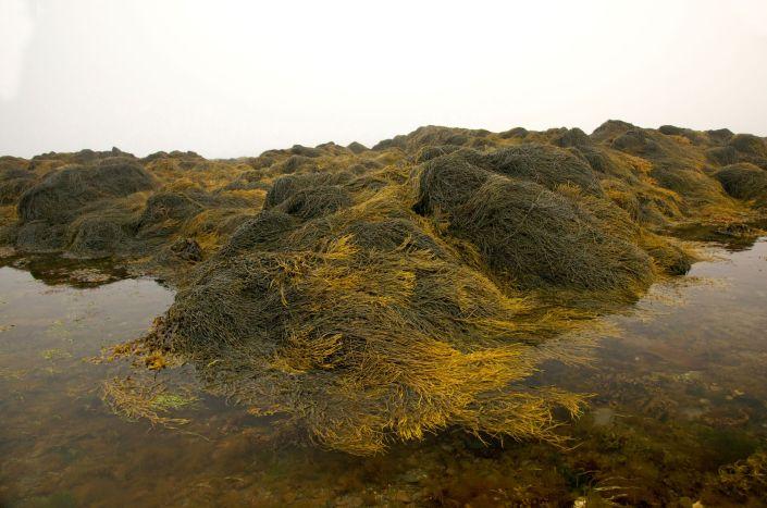 PC Kent Island rockweed